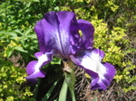 Iris_2