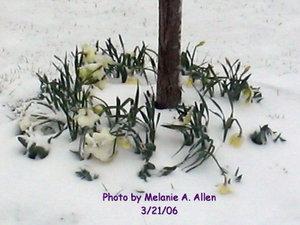 Daffodil_snow_3